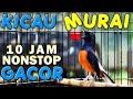 10 Jam Nonstop Suara Kicau Burung Murai Gacor Ngobra(.mp3 .mp4) Mp3 - Mp4 Download