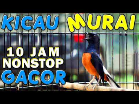 10 JAM NONSTOP - SUARA KICAU BURUNG MURAI GACOR