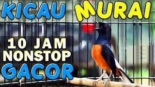 10 JAM NONSTOP SUARA KICAU BURUNG MURAI GACOR