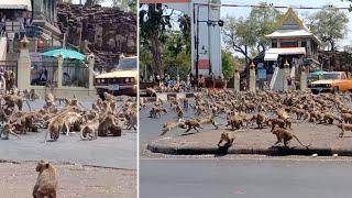 Hundreds Of Monkeys Fight Over Single Piece Of Food