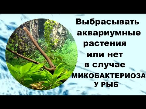 Выбрасывать аквариумные растения или нет в случае микобактериоза у рыб