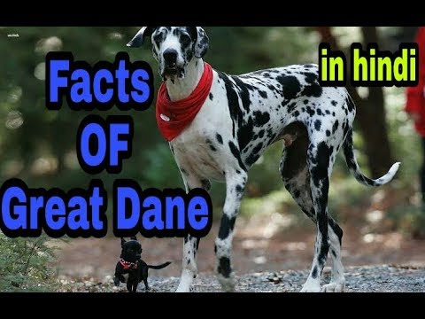 Great Dane facts in hindi    dogs information   