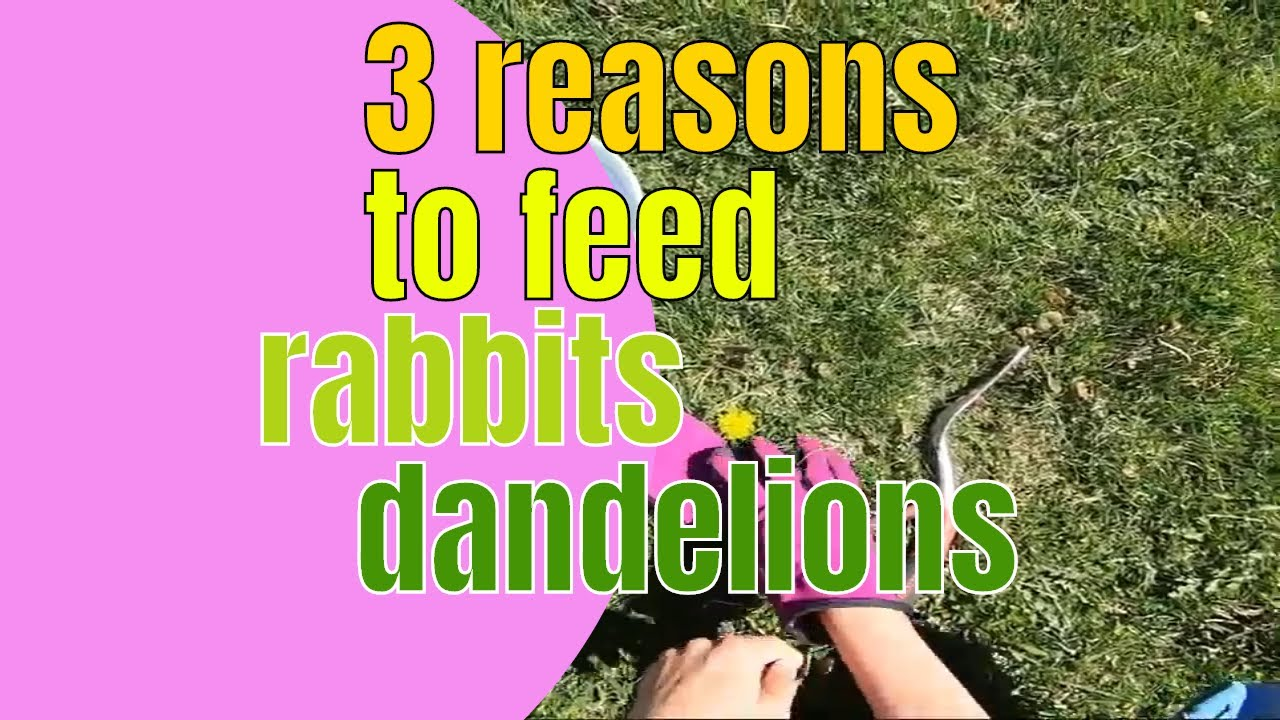 3 reasons to feed your rabbit dandelions