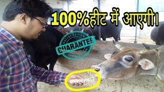 गाय भैंस को हीट में लाने का फार्मूला/Formula for heating cow and buffalo thumbnail