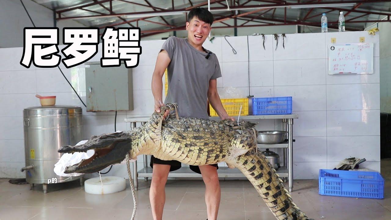 到鱷魚場抓條上100斤尼羅鱷,做紅燒鱷魚腩有多美味? 鱷魚鞭卻被小俊哥吃了【衣谷水原egg】