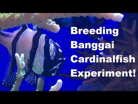Breeding Banggai Cardinalfish EXPERIMENT! - Part 1