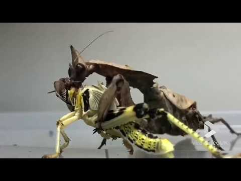 Dave Hill - Praying Mantis Has a Lunch of a Whole Locust
