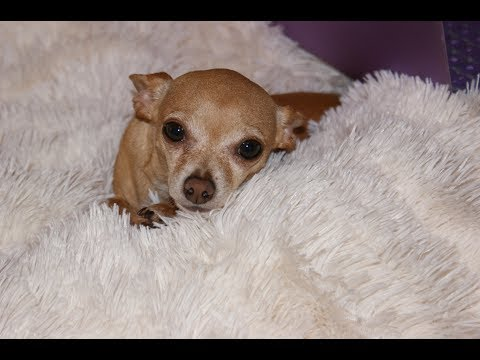 Leon the Vicious Chihuahua! 9 mth. old Compilation!---EXTRA CUTE!