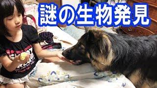 grandchild and German Shepherd dog 大型シェパード犬と子供(孫娘りり...