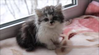 Harmony Tulskaya Krasa. Котенок Хайленд страйт. Купить котенка в Москве.