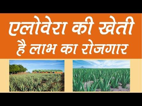 Alovera ki Kheti Kaise Kare || Aloevera cultivation in india (Hindi)