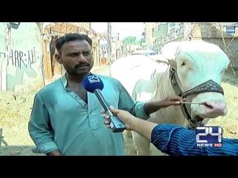 24 Report: Unique buffalo named rustom in Multan
