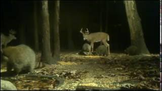 Raccoons & Bucks