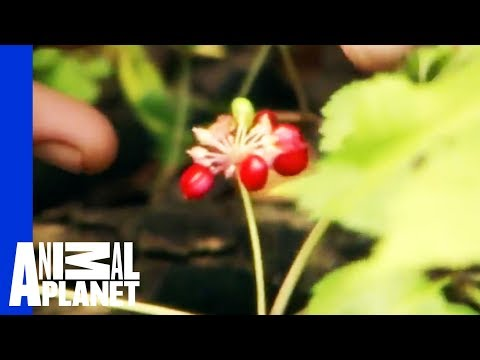 Ginseng Root: Nature's Drug | Call of the Wildman