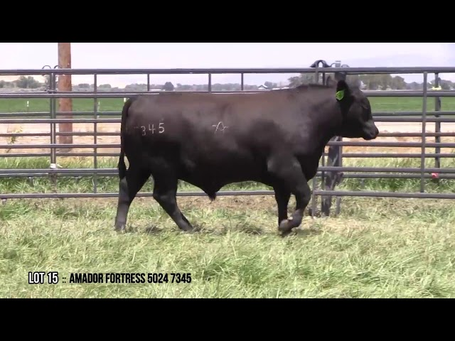 Mid Valley Bull Sale Lot 15