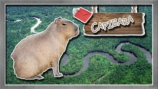 Carpincho | El roedor más grande del mundo | (Animales del Mundo) |Petición|