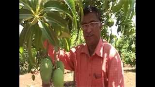 How Mango Is Cultivated in India
