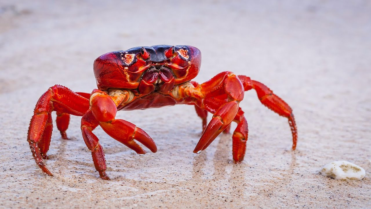 Study Suggests Hermit Crabs Evolved Long Penises To Defend Against Shell Thieves