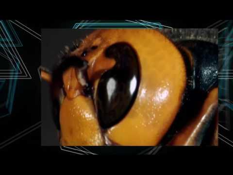 9 июн 2016. Протестировал средство от насекомых аквафумигатор раптор. После обработки надоедливых комаров не осталось, все сдохли.