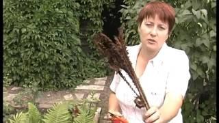 Страусник – садовый папоротник