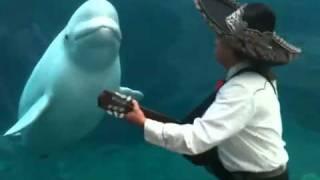 Mariachi Connecticut Serenades a Beluga Whale