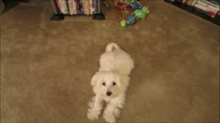Bentley's Level I Obedience Training Practice (maltese 5 Months Old) July 1, 2014