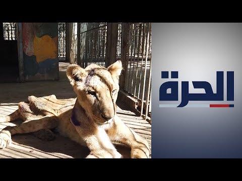 السودان.. أسود تعاني من المجاعة تثير الرأي العام  - 23:59-2020 / 1 / 24