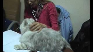 Персидская шиншилла - порода кошек
