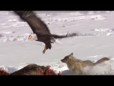 Coyote vs Bald Eagles   Yellowstone   BBC
