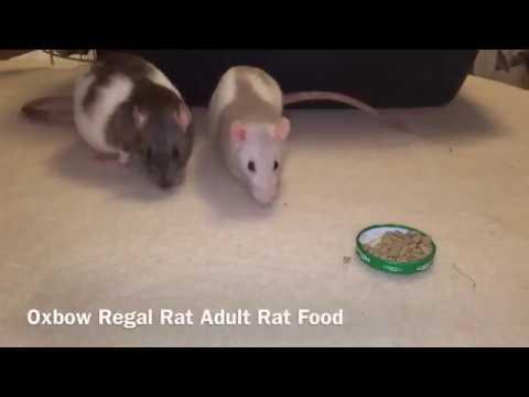 Pet Chu || Những món khoái khẩu cho Dumbo Rat béo ú