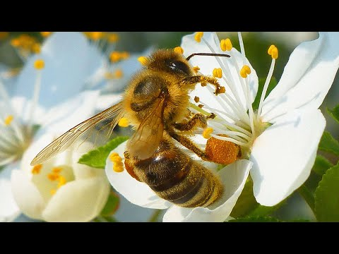 Včela medonosná - The western honey bee (Apis mellifera) - Opylení/Pollination