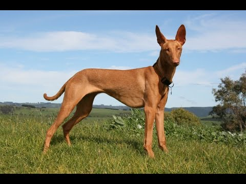 Pharaoh Hound - DOG LOVERS ❤