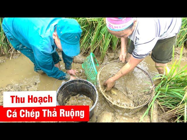 Thu Hoạch Cá Chép Ruộng - Chuẩn Bị Mùa Gặt tại Hà Giang - Phần 1