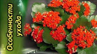 Каланхоэ цветущее или «дерево жизни». Особенности ухода