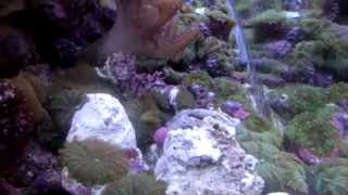 Класный Морской аквариум-Риф на 600 литров Киев.(Моской авкриум спустя 6 лет с момента запуска. обьем около 600 литров + в сампе и системе. Всего около 850 литров..., 2013-01-27T14:35:25.000Z)