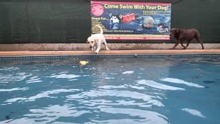 2 Labrador Retrievers & A German Shepherd Play, Jump & Swim In Swimming Pool
