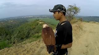 Bermain dengan elang bondol