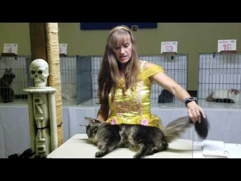 Best in Breed, Longhair Kitten at 2016 TICA  Sacramento, CA Show