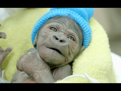 Thumbnail: Baby Gorilla Born By Rare C-Section at San Diego Zoo Safari Park