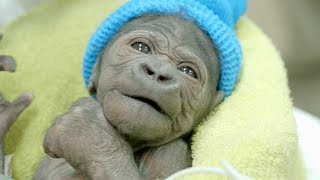 Baby Gorilla Born By Rare C-Section at San Diego Zoo Safari Park thumbnail