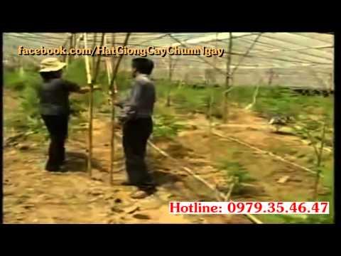Cây Chùm Ngây Chữa Bênh gì? Tác Dụng gì? Kỹ thuật trồng cây chùm ngây? Bán Hạt chùm ngây giá rẻ