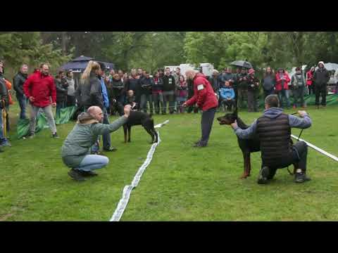 CHAMPION CUP 2019 SPECIAL DOBERMANN SHOW 2/2