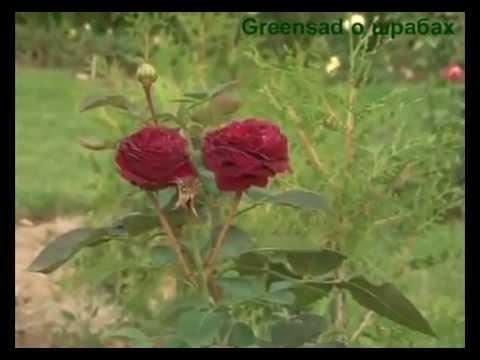 Все о шрабах. Розы шрабы