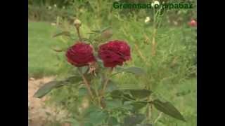 видео Посадка и уход за розами-шрабами