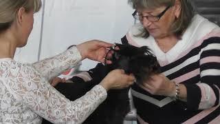 Цвергшнауцер, выставка собак
