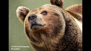 Świat zwierząt   Niedźwiedzie Bären