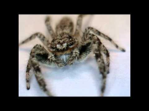 Ohio Spider Identification - Ohio Jumping Spider - Metacyrba Undata