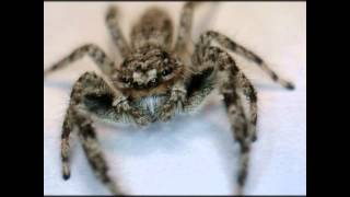 Ohio Jumping Spider - Spider Extreme Close up - Metacyrba Undata