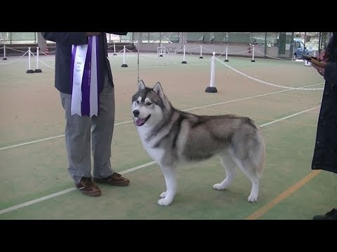 BIS Siberian husky of Japanese dog show in Fukuoka on 9th December 2017