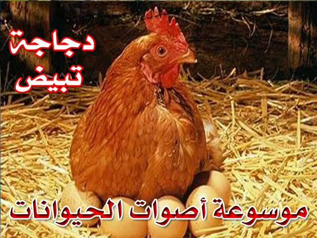 صوت دجاجة تبيض موسوعة أصوات الحيوانات Youtube